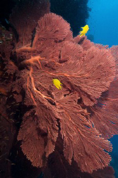 Gorgonian Wide Angle by Andy Lerner 